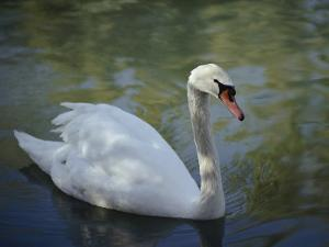 Close-up of a Tundra Swan Swimming in a Shaded Pond by George F. Mobley