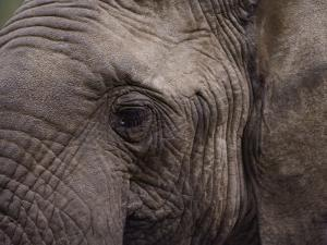 Close-up of an African Elephant by George F. Mobley