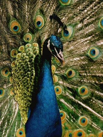 Close View of a Peacock