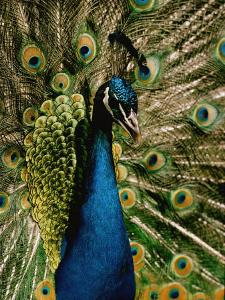 Close View of a Peacock by George F. Mobley