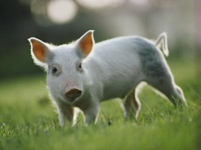 Close View of a Young Pig