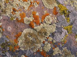 Colorful Lichen Covers a Rock Surface by George F. Mobley