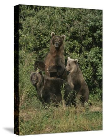 Group Portrait of Three Kodiak Brown Bears on Kodiak Island, Alaska