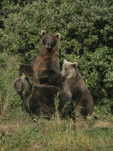 Group Portrait of Three Kodiak Brown Bears on Kodiak Island, Alaska by George F. Mobley