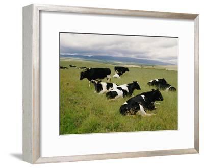 Holstein-Friesian Dairy Cows