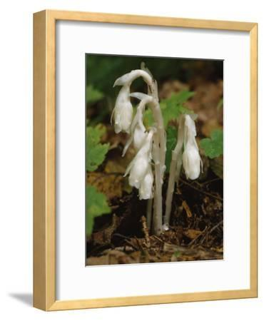 Indian Pipe, Baxter State Park, Maine