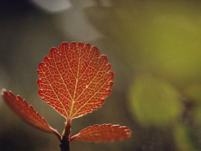 Leaf, Sheenjek River Valley, Arctic National Wildlife Refuge, Alaska by George F. Mobley