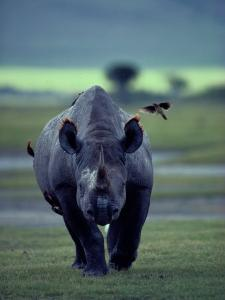 Red-Billed Oxpeckers Cling to a Black Rhinoceros by George F. Mobley