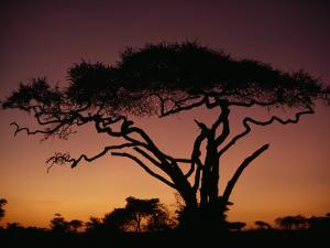Silhouette of an Acacia Tree in Serengeti National Park by George F. Mobley