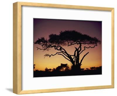 Silhouetted Acacia Tree