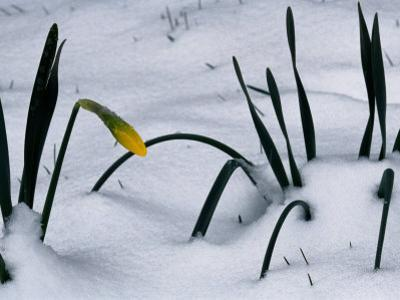 Spring Snow Coats New Daffodils