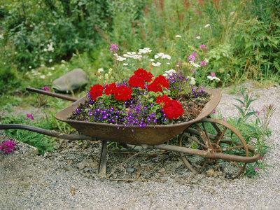 View of an Old Wheelbarrow Used for Summer Flowers