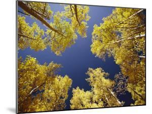 View Straight up at the Sky Through a Golden Canopy of Aspen Trees by George F. Mobley