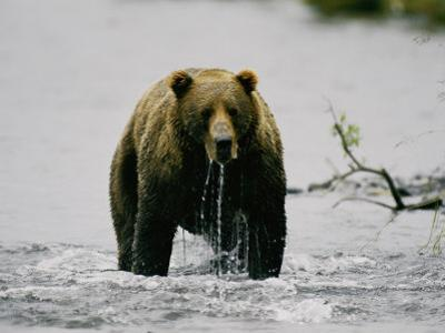 Water Drips from the Mouth of a Kodiak Bear