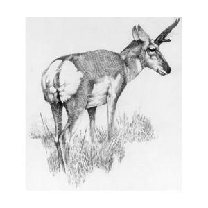 Drawing of the Nearly Extinct Sonoran Pronghorn Antelope by George Founds