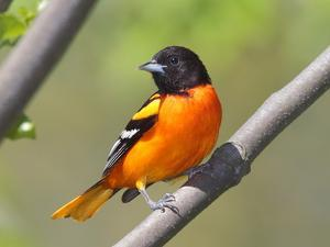 A Baltimore Oriole, Ictarus Galbula, Perched on a Tree Branch by George Grall