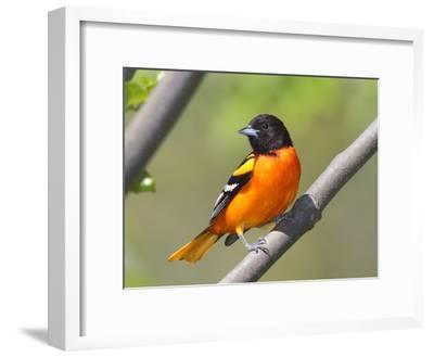 A Baltimore Oriole, Ictarus Galbula, Perched on a Tree Branch