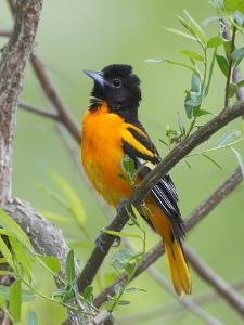 A Baltimore Oriole, Icterus Galbula, Perched in a Tree by George Grall