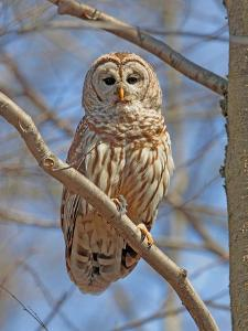 A Barred Owl, Strix Varia, Perched on a Tree Branch by George Grall