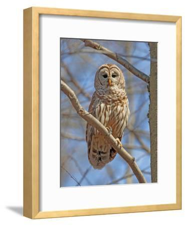 A Barred Owl, Strix Varia, Perched on a Tree Branch