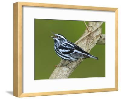 A Black and White Warbler, Miniotilta Varia, Singing on a Tree Branch