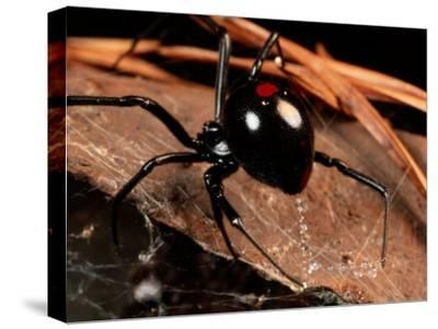 A Black Widow Spider