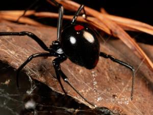 A Black Widow Spider by George Grall
