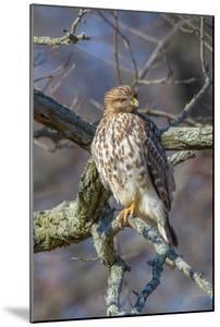 A Broad-Winged Hawk Hunting from Perched a Lichen-Covered Tree Branch by George Grall