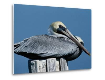 A Brown Pelican Resting on a Post