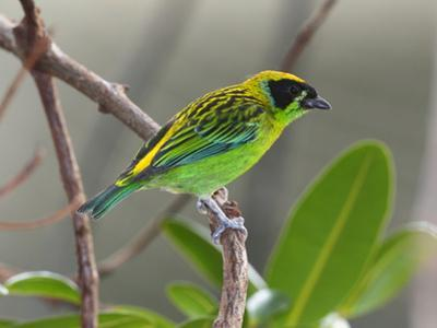 A Captive Green and Gold Tanager, Tangara Schrankii, on a Tree Branch