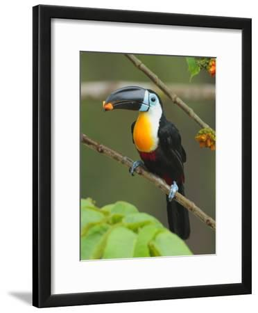 A Channel Billed Toucan, Ramphastos Vitellinus, Eating Fruit