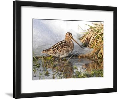 A Common Snipe, Gallinago Gallinago, in a Puddle of Snow Melt