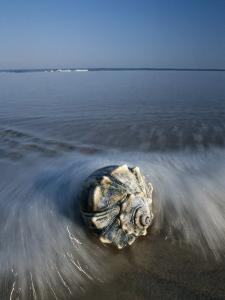 A Conch Shell Washed up on Shore by George Grall
