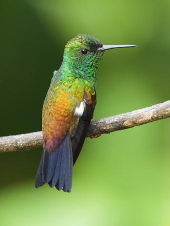 A Copper-Rumped Hummingbird, Amazilia Tobaci, on a Tree Branch