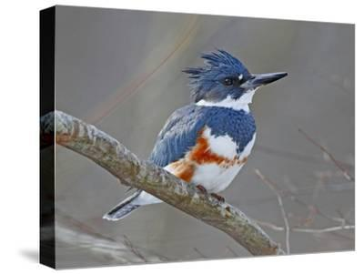 A Female Belted Kingfisher, Megaceryle Alcyon, Perched on a Branch