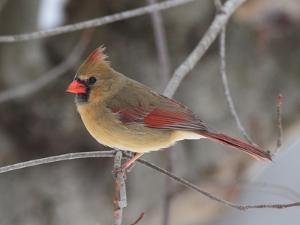 A Female Northern Cardinal, Cardinalis Cardinalis, Perched on a Limb by George Grall
