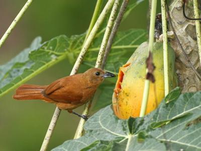 A Female White-Lined Tanager, Tachyphonus Rufus, Eating a Papaya