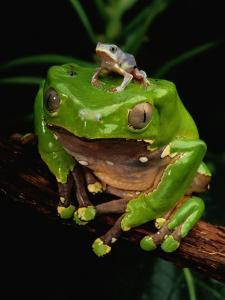 A Frog Perched on a Branch with a Baby Frog on its Back by George Grall