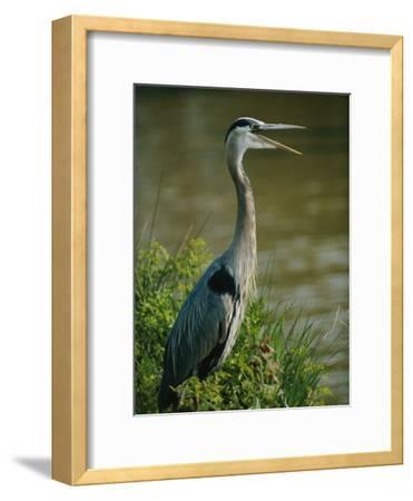 A Great Blue Heron Stands in a Marsh