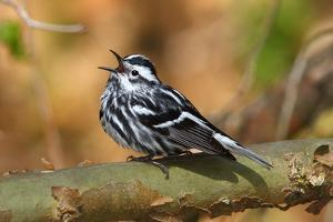 A Male Black and White Warbler Singing a Territorial Song from a Perch by George Grall