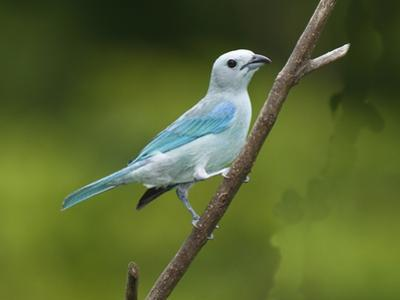 A Male Blue-Gray Tanager, Thraupis Episcopis, on a Twig