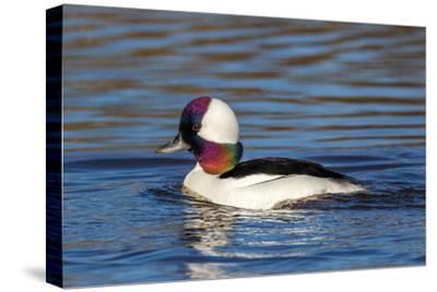 A Male Bufflehead Duck's Head Shows an Iridescent Rainbow of Color