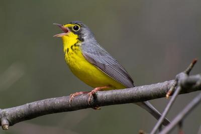 A Male Canada Warbler Singing a Territorial Song from Perch