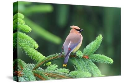 A Male Cedar Waxwing, Bombycilla Cedrorum, Perched on a Pine Tree Limb