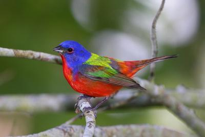 A Male Eastern Painted Bunting, Passerina Ciris, in Spectacular Breeding Color