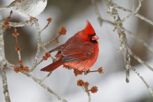 A Male Northern Cardinal, Cardinalis Cardinalis, Perched on a Budding Maple Tree Branch by George Grall