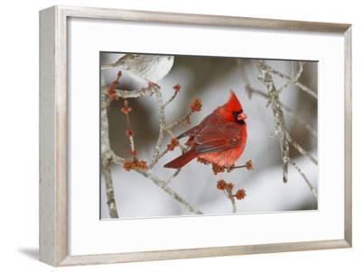 A Male Northern Cardinal, Cardinalis Cardinalis, Perched on a Budding Maple Tree Branch