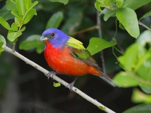 A Male Painted Bunting, Passerina Ciris, Perched, Listening for Song by George Grall