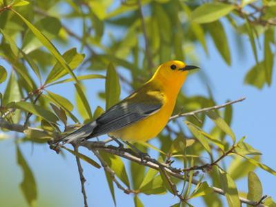 A Male Prothonitary Warbler, Protonitaria Citrea, Perched in a Tree
