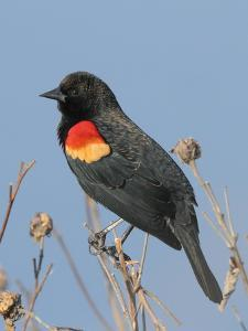 A Male Red-Winged Blackbird, Agelaius Phoeniceus, in Low Vegetation by George Grall